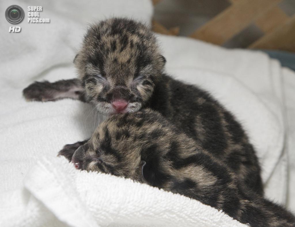 Детеныши дымчатого леопарда. (Smithsonian's National Zoo)