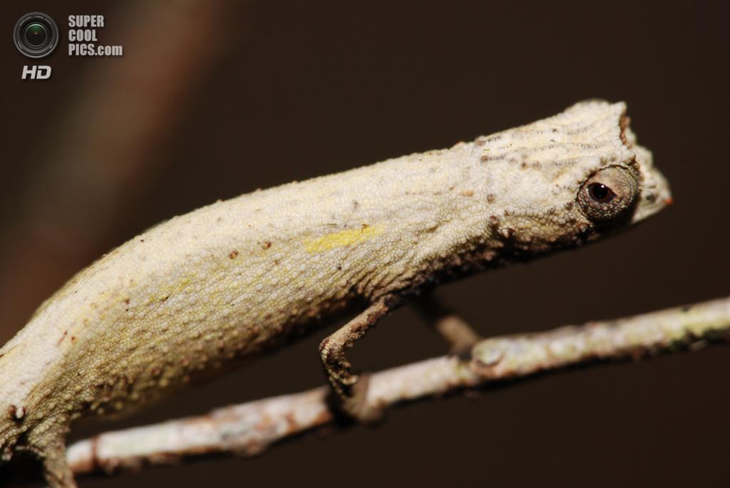 Малая брукезия. (Kurt Bleys)