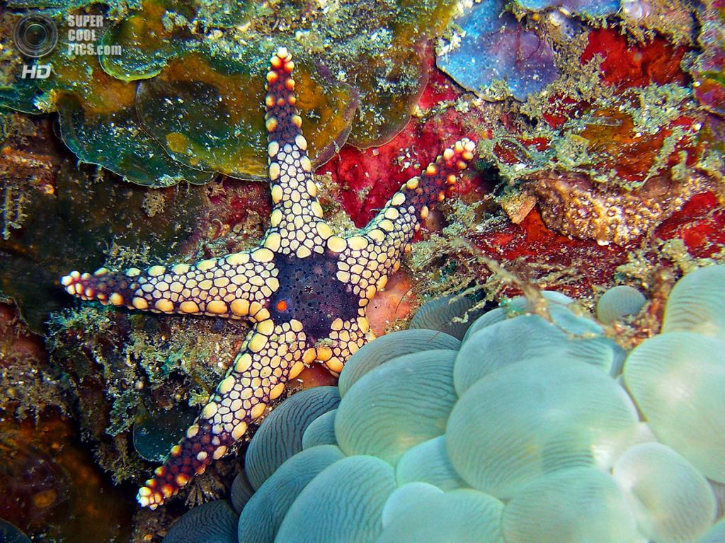 Морская звезда среди кораллов. (David M. Hogan)