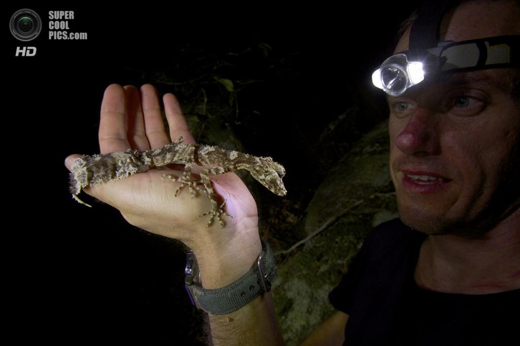 Австралия. Кейп-Мелвилл, Квинсленд. Геккон Saltuarius eximius. (Tim Laman/National Geographic)