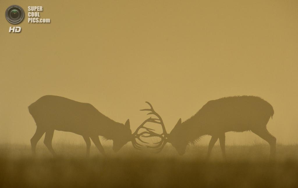 Англия. Лондон. 27 сентября. Оленья стычка туманным утром. (REUTERS/Toby Melville)