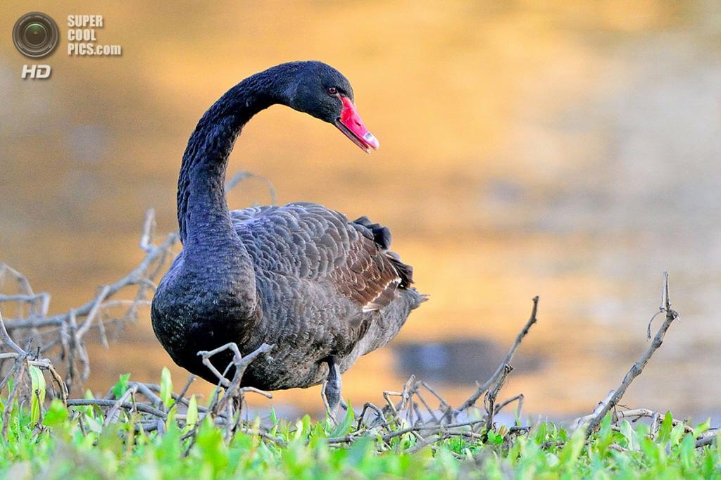 Чёрный лебедь. (Young Sung Bae)