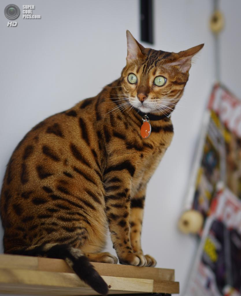 Бенгальская домашняя кошка. (Nicolas Bernal N)