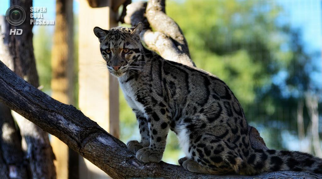 Дымчатый леопард. (jobar67212(JR))
