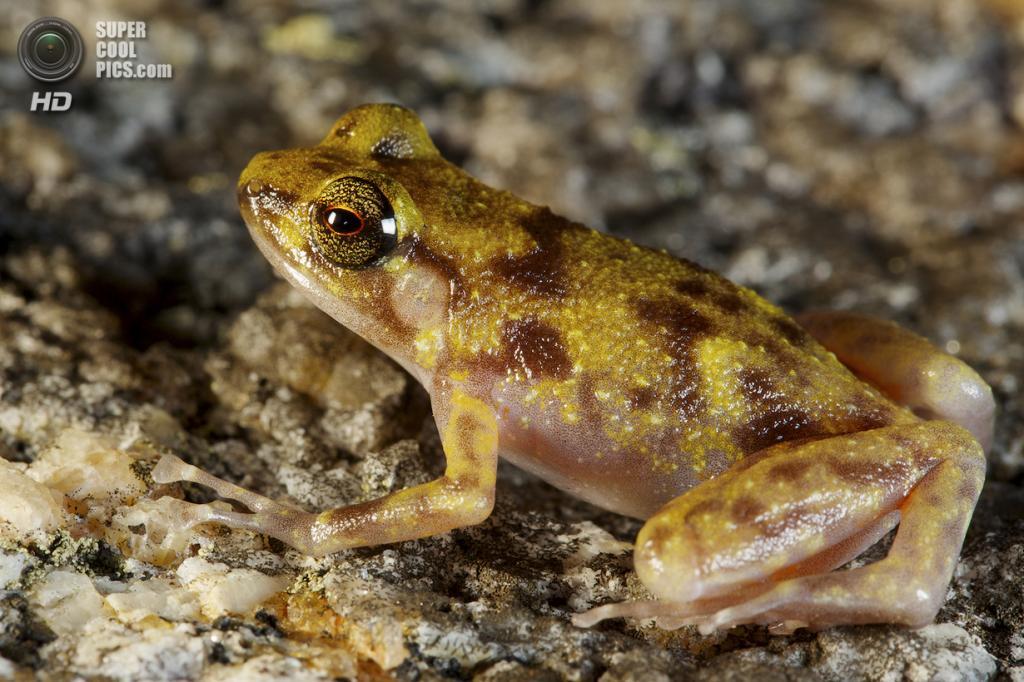 Австралия. Кейп-Мелвилл, Квинсленд. Лягушка Cophixalus pertophilus. (Tim Laman/National Geographic)