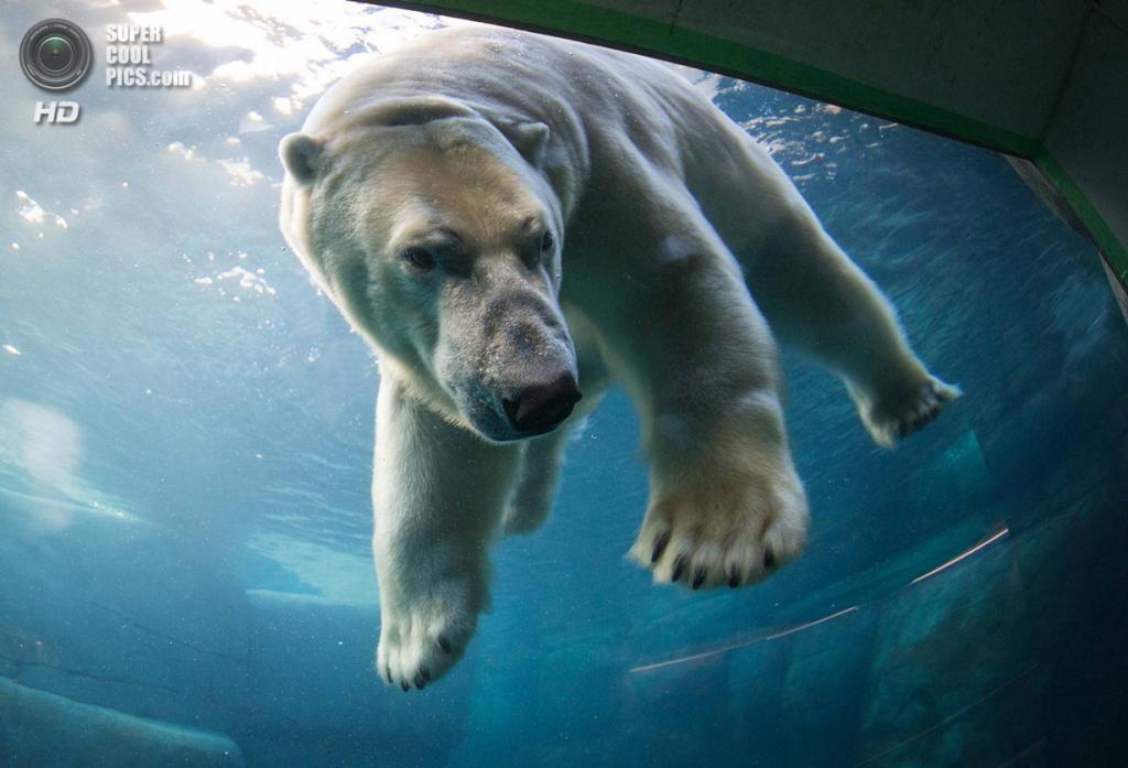 Дания. Копенгаген. Белые медведи в Копенгагенском зоопарке. (Frank Rensholt/HotSpot Media)