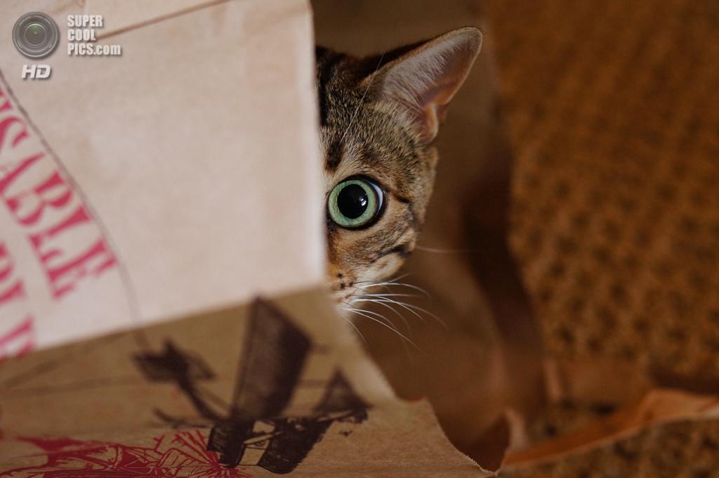 "Бенгальская домашняя кошка. (Alain aka ""Ted7"" Peeri)"