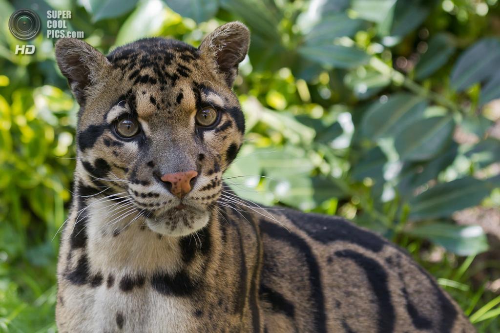 Дымчатый леопард. (Anthony Gurr)