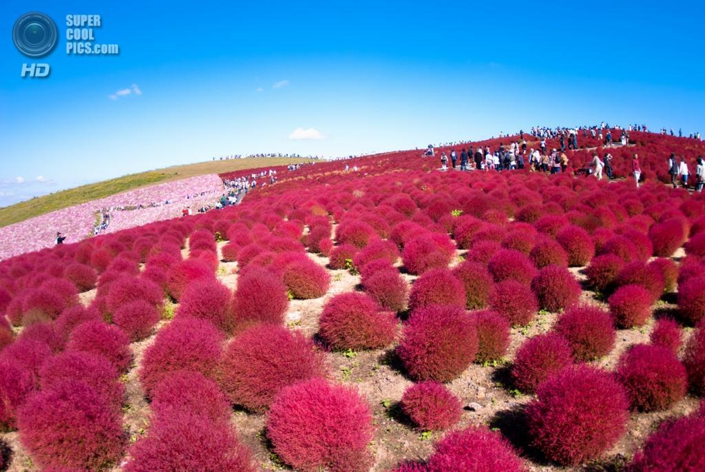 Япония. Хитатинака, Ибараки. Парк Хитачи-Сисайд. Осень. Кусты кохии. (shin--k)