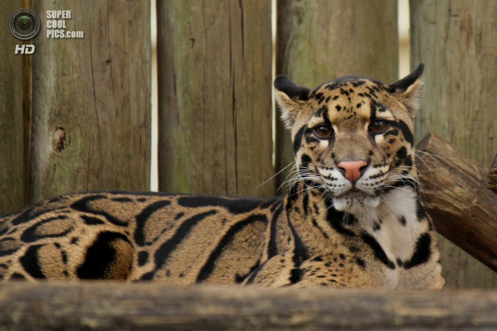 Дымчатый леопард. (Beth Ann)