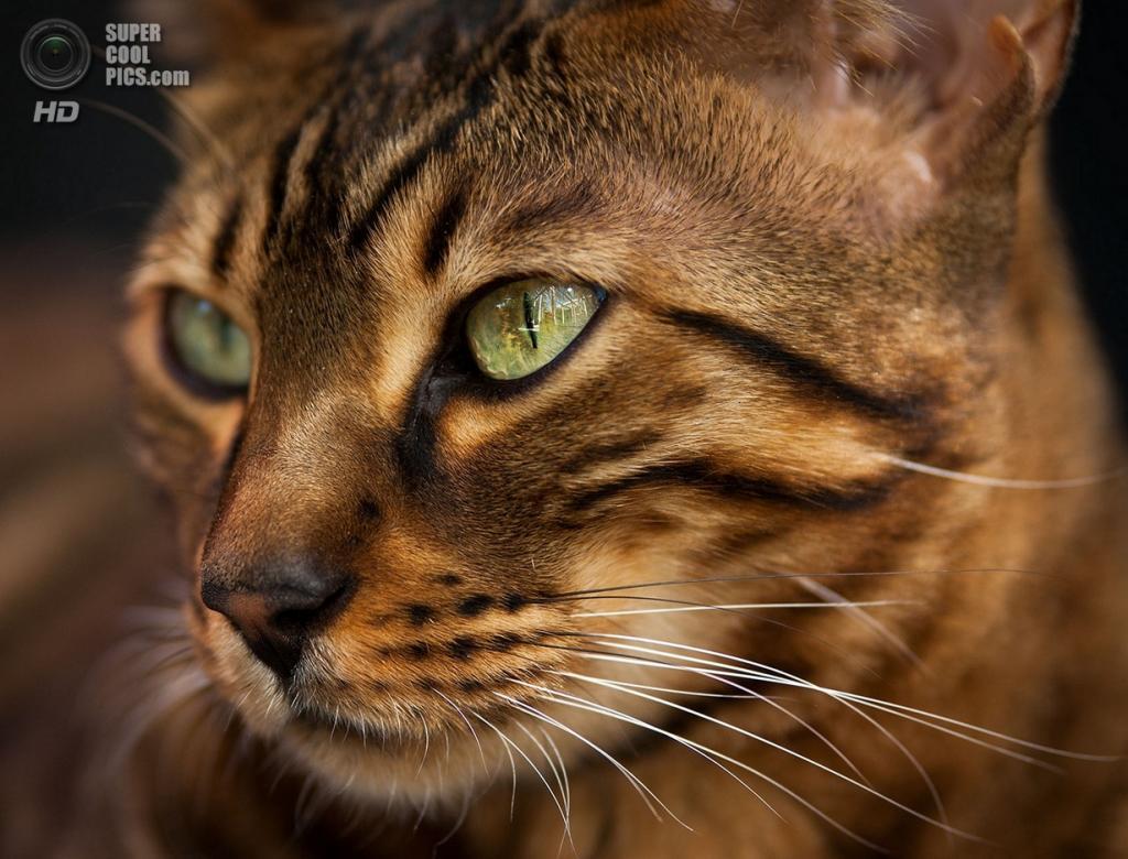 Бенгальская домашняя кошка. (Andreas Krappweis)