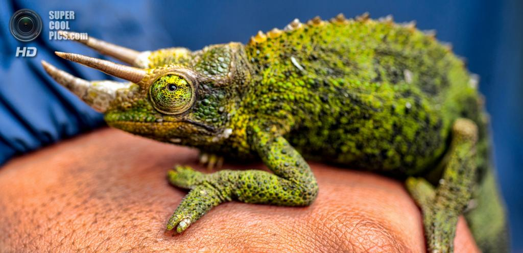 A slow moving female jacksons chameleon
