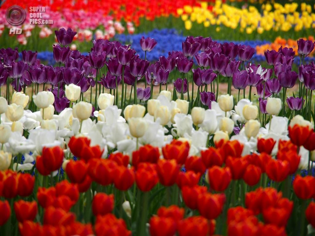 Япония. Хитатинака, Ибараки. Парк Хитачи-Сисайд. Весна. Цветение тюльпанов.(Yuichi Momma)