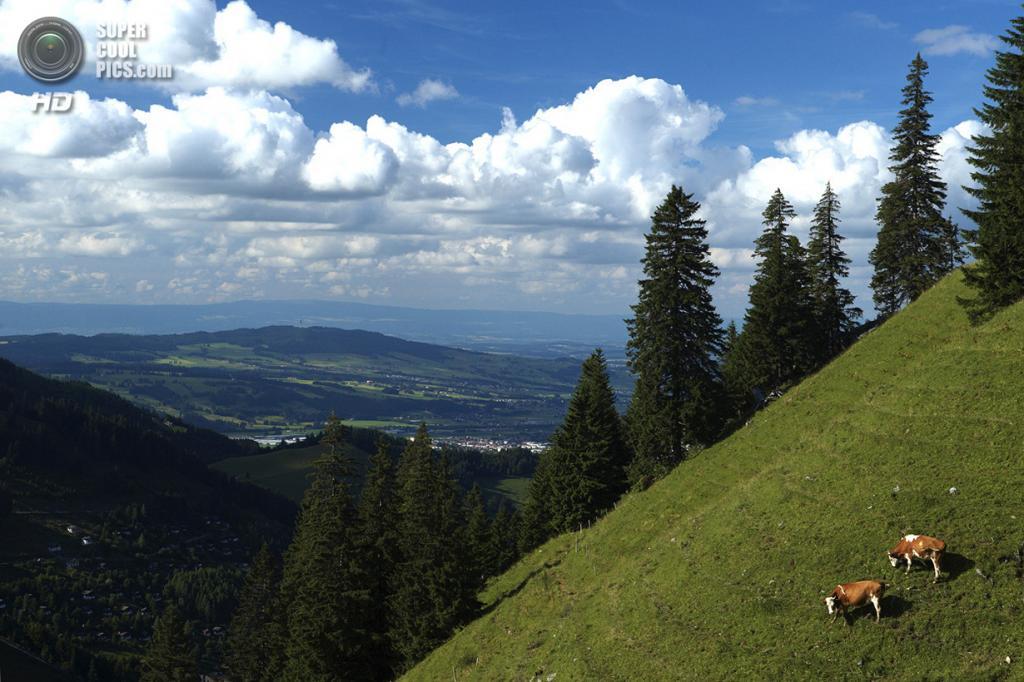 Швейцария. Грюйер. Коровы пасутся на горе Цермон. (Reuters/Denis Balibouse)