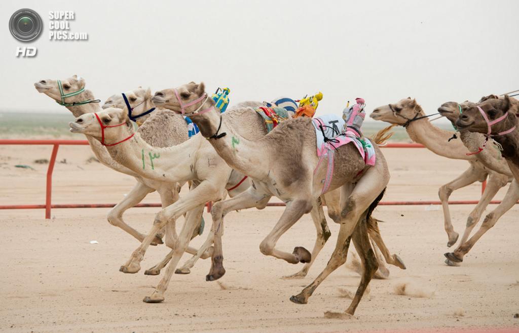Кувейт. Эль-Кувейт. 26 января. Роботы-жокеи на верблюдах во время еженедельных скачек. (REUTERS/Stephanie McGehee)