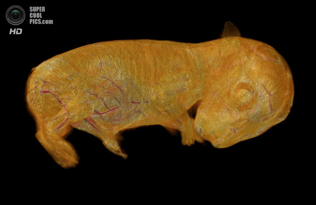 3D-реконструкция эмбриона дикого кролика, полученная микротомографией оптической проекции. (Dr. Gabriel G. Marins and Rob Bryson-Richardson)
