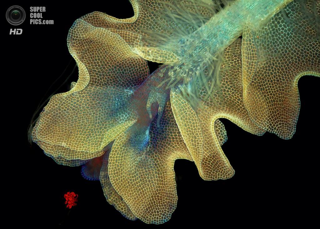 Печёночный мох Barbilophozia, 50x увеличение. (Magdalena Turzanska)