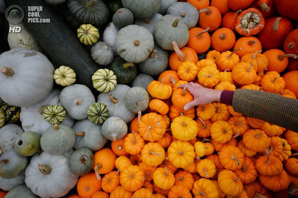 Великобритания. Лондон. 2 октября. Работник Kew Gardens творчески выкладывает тыквы для обозрения. (Dan Kitwood/Getty Images)