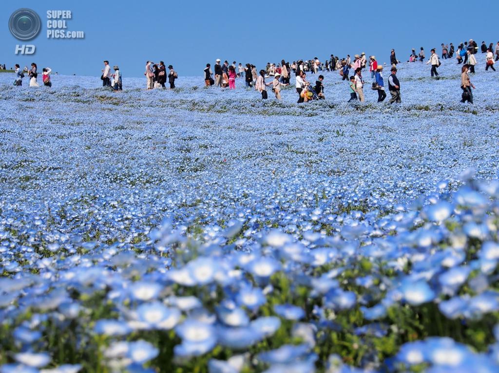 Япония. Хитатинака, Ибараки. Парк Хитачи-Сисайд. Весна. Цветение немофилы. (Lewis Lai)