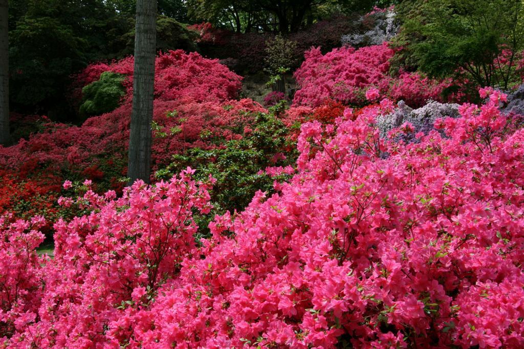 Рододендрон, «Розовое дерево» (20 фото)