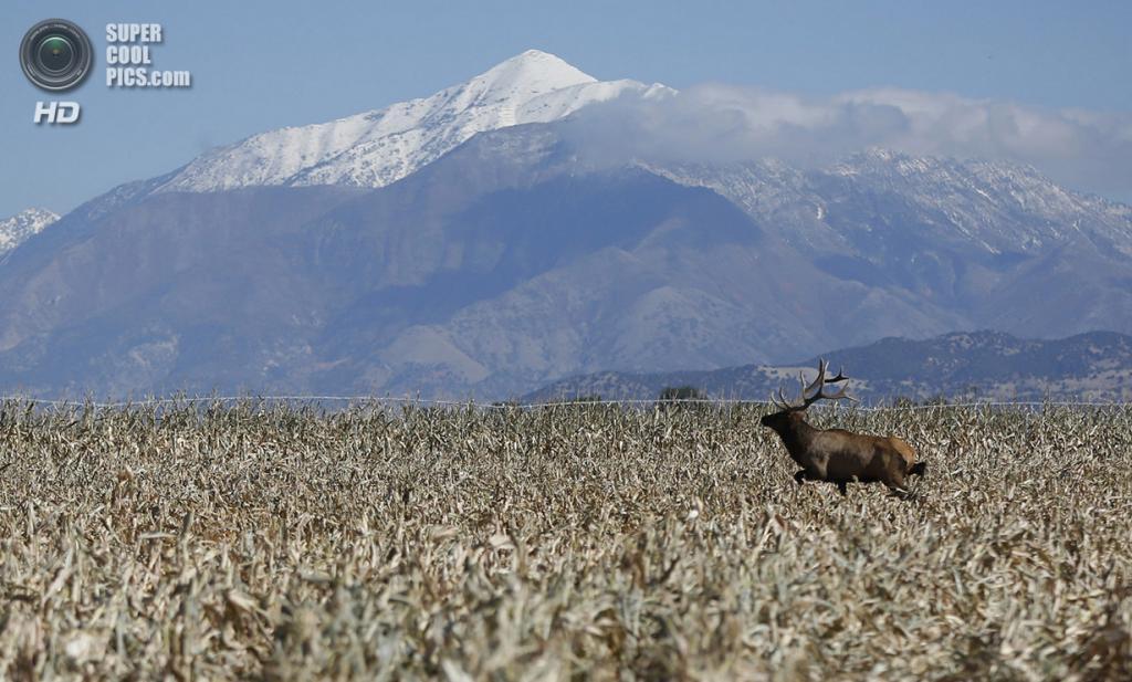 США. Леван, Юта. 5 октября. Вапити прокладывает себе путь через кукурузное поле. (REUTERS/Jim Urquhart)