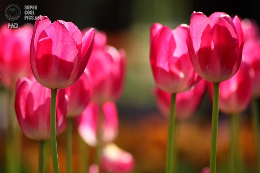 Япония. Хитатинака, Ибараки. Парк Хитачи-Сисайд. Весна. Цветение тюльпанов. (Lewis Lai)