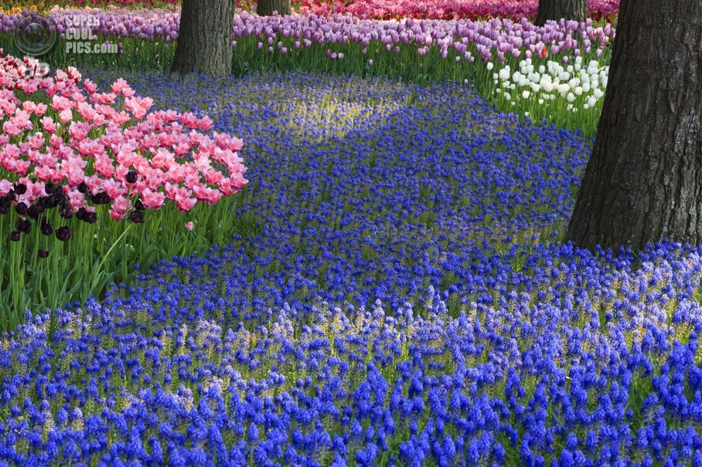 Япония. Хитатинака, Ибараки. Парк Хитачи-Сисайд. Весна. Цветение тюльпанов. (JayTurbo)