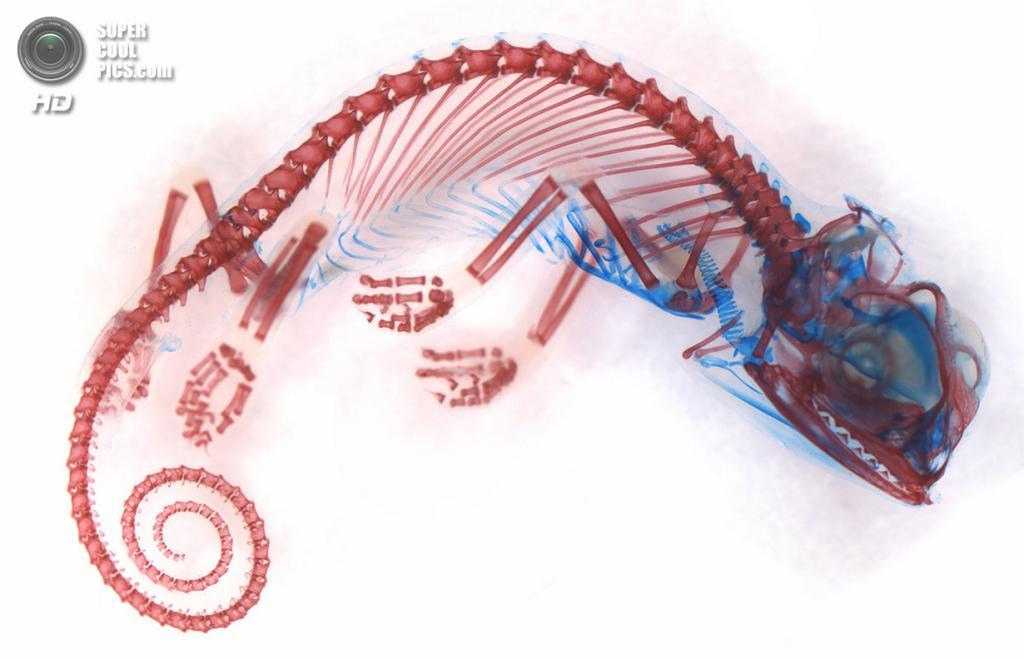 Хрящи (синий цвет) и кости (красный цвет) эмбриона йеменского хамелеона. (Dorit Hockman)