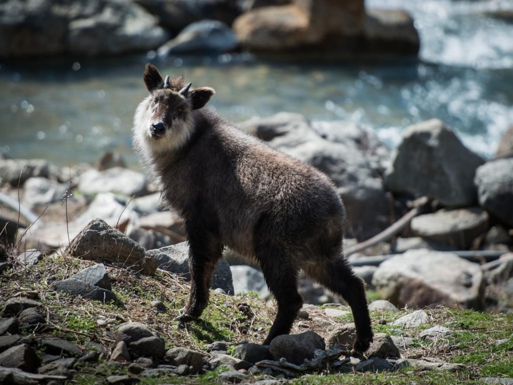 Японский сероу: Волк и коза в одном обличье (10 фото)