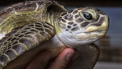 Спасение черепах на атомной электростанции Сент-Луси (15 фото + HD-видео)