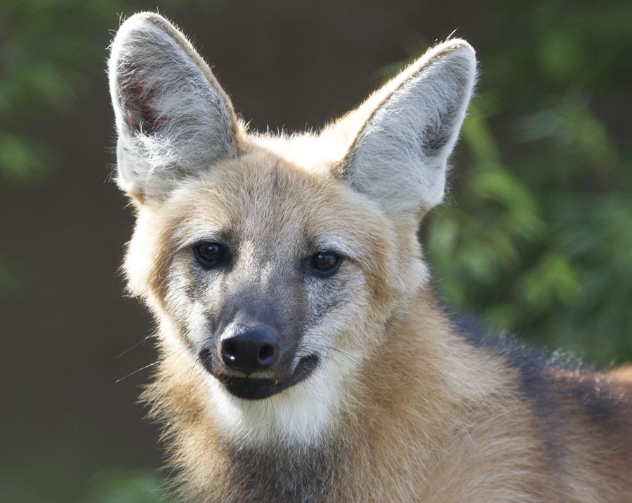 Гривистый волк — лисья внешность, волчье нутро (13 фото)