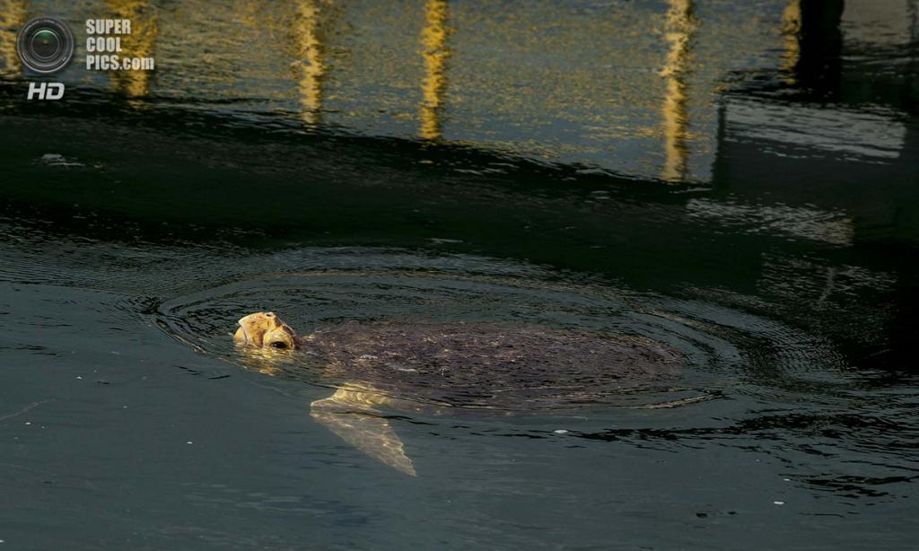 США. Форт-Пирс, Флорида. Зелёная черепаха во впускном канале, несущем воду к атомной электростанции Сент-Луси. (Greg Lovett/The Palm Beach Post)