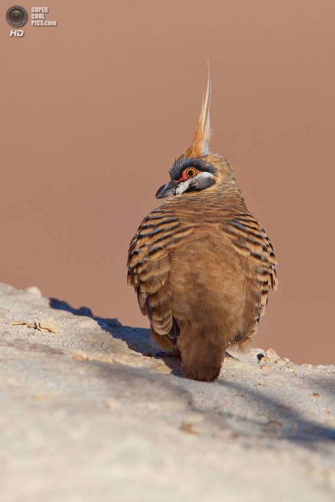 Острохохлый каменный голубь. (Peter Jacobs)