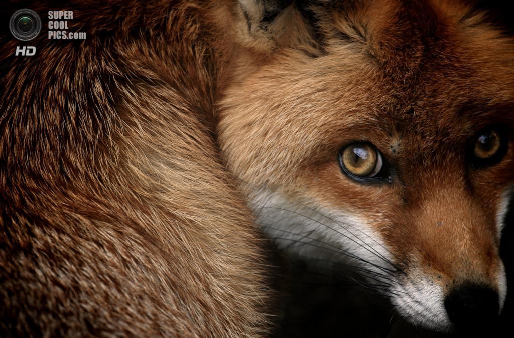 «Взгляд лисицы». Место съемки: Великобритания. Тетфордский лес, Англия. (Sam Morris/National Geographic Photo Contest)