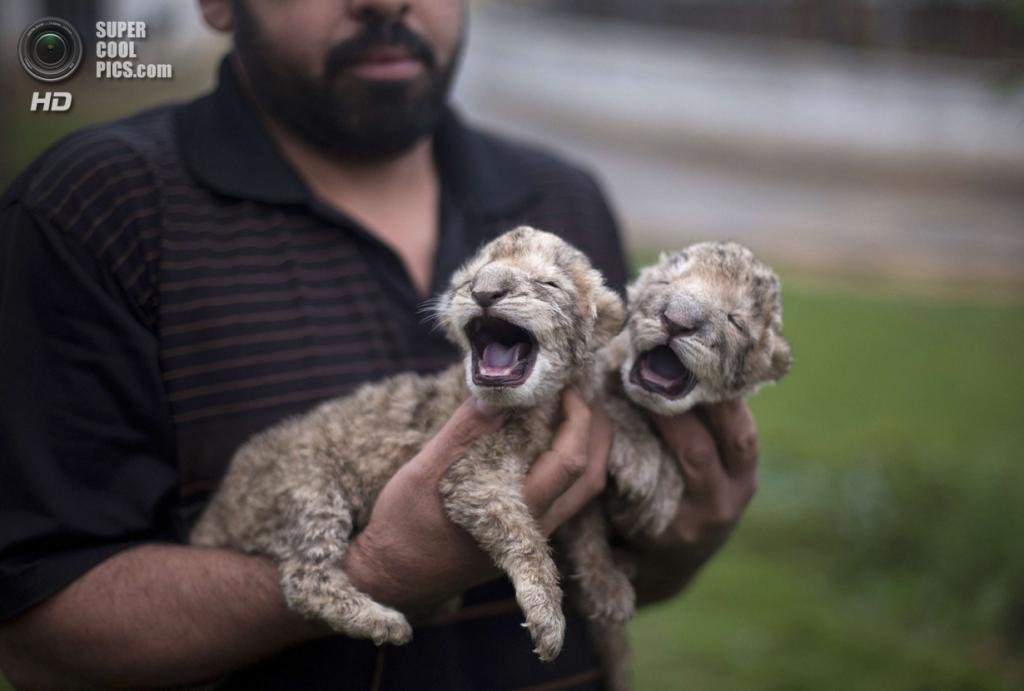 Палестина. Бейт-Лахия, Газа. Новорожденные львята в местном зоопарке. (MOHAMMED ABED/AFP/Getty Images)
