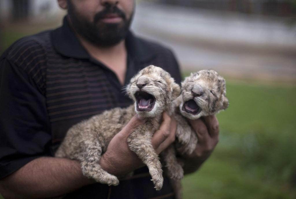 PALESTINIAN-GAZA-ANIMALS-LION-CUB  AFP