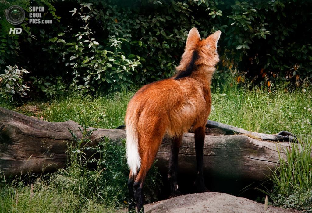 Длинные ноги гривистого волка, видимо, являются эволюционным приспособлением к месту обитания — травянистым равнинам; они помогают волку обозревать окрестности, двигаясь в высокой траве. Примечательно, что щенки гривистого волка рождаются коротконогими. Увеличение длины конечности идёт за счёт роста голени и плюсны, как у гепардов, однако при этом гривистых волков нельзя назвать хорошими бегунами. (Tobias Moremost)