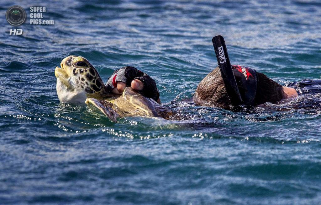 США. Форт-Пирс, Флорида. Дэйв Кларк с зелёной черепахой, пойманной во впускном канале. (Greg Lovett/The Palm Beach Post)