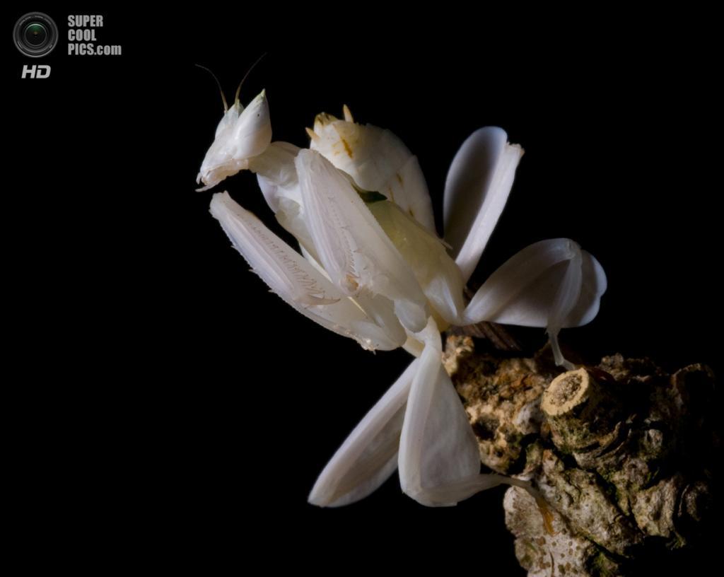 Орхидейный богомол. (Thor Hakonsen)