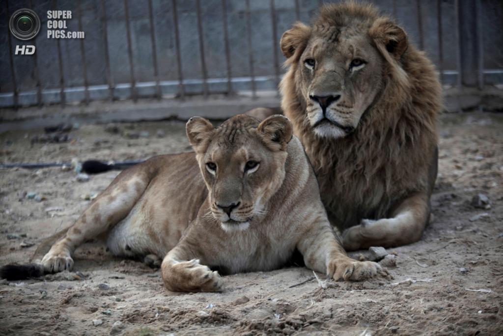 Палестина. Бейт-Лахия, Газа. Львиная семья в местном зоопарке. (AP Photo/Hatem Moussa)