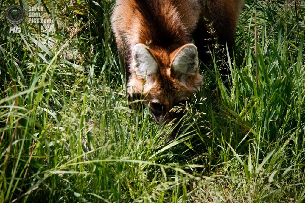 Общая окраска желтовато-рыжая, подбородок и конец хвоста светлые. От макушки до середины спины идёт чёрная полоса. Конечности тёмные. На морде бывают тёмные пятна. Шерсть на загривке и в верхней части шеи более длинная (до 13 см) и густая и образует гриву, которая встаёт дыбом и визуально увеличивает размеры животного, когда оно встревожено или агрессивно. (Tobias Moremost)