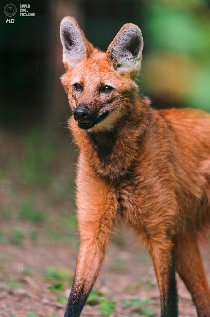 Гривистые волки ведут ночной и сумеречный образ жизни; в течение дня они обычно отдыхают среди густой растительности, изредка перемещаясь на небольшие расстояния. Самцы более активны, чем самки. Основой социальной структуры у гривистых волков является брачная пара, которая занимает один домашний участок (порядка 27 км²), но в остальном довольно независима. (Tambako The Jaguar)