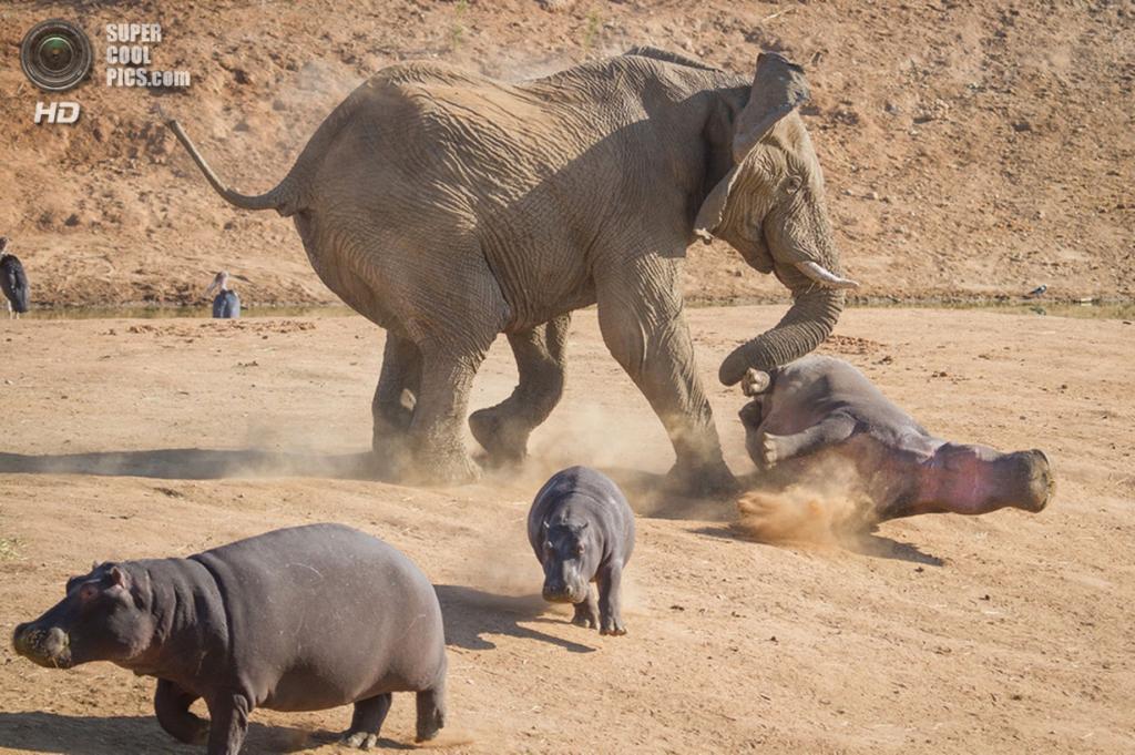 изображение слона:
