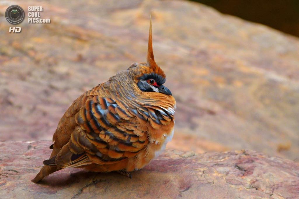 Острохохлый каменный голубь. (penjelly)