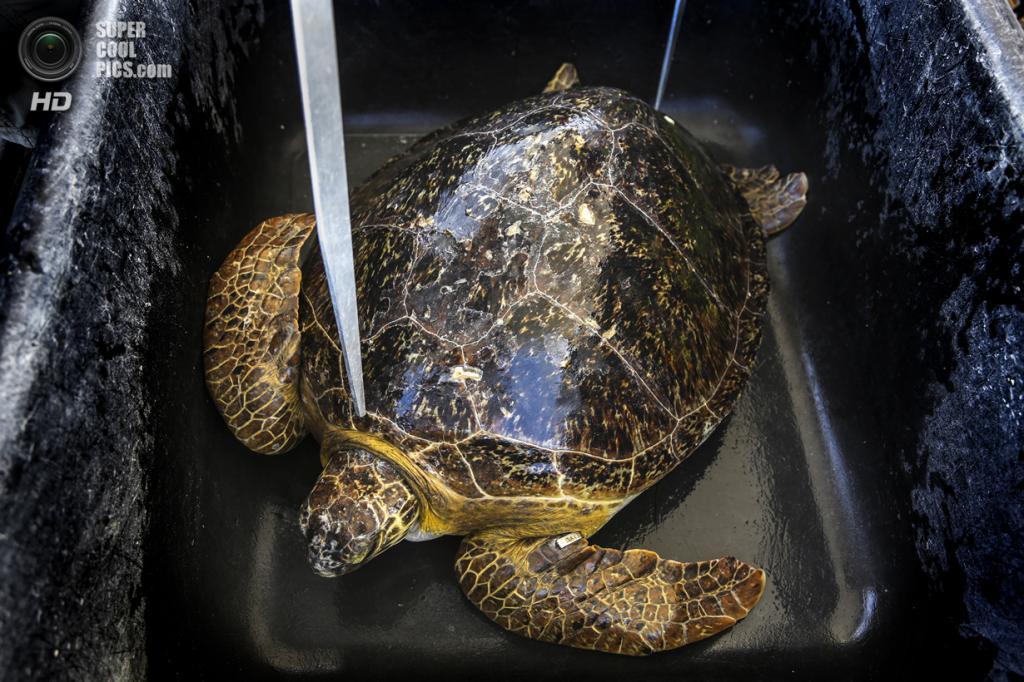 США. Форт-Пирс, Флорида. Зелёная черепаха ждёт своей очереди на взвешивание, измерение и пометку, а также оказание ветеринарной помощи в случае необходимости. (Greg Lovett/The Palm Beach Post)