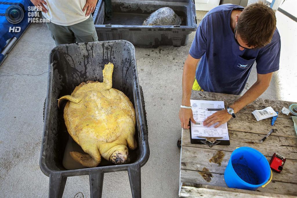 США. Форт-Пирс, Флорида. Биолог Джефф Гуэртин записывает показатели черепахи. (Greg Lovett/The Palm Beach Post)