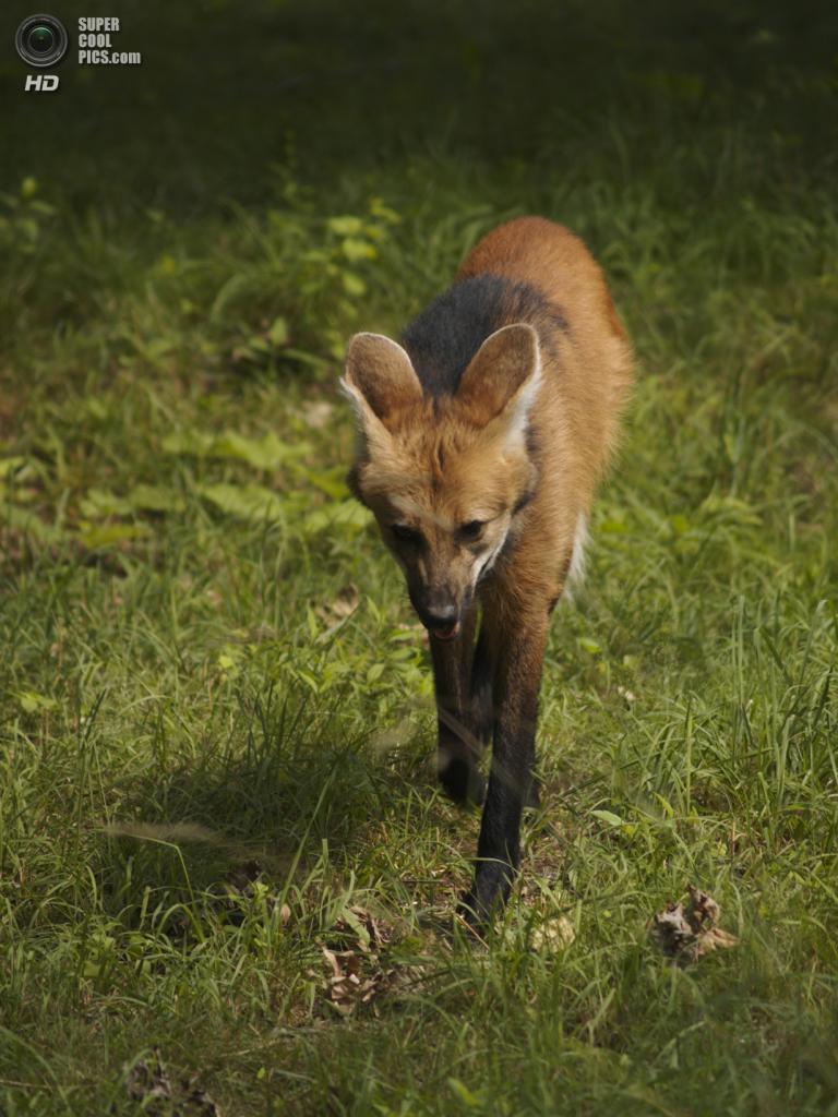 В рационе гривистого волка почти в равных пропорциях присутствует пища животного и растительного происхождения. Охотится преимущественно на некрупных животных: агути, пака, туко-туко, кроликов, броненосцев. (Chris Adams)