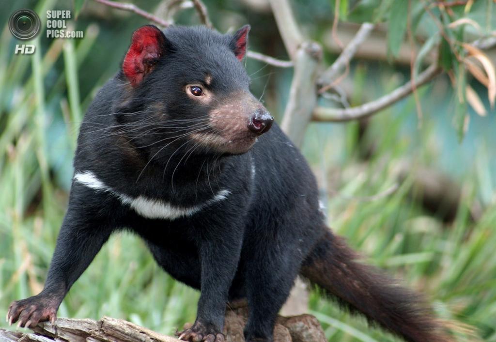 Тасманийский дьявол. (rob elliott)