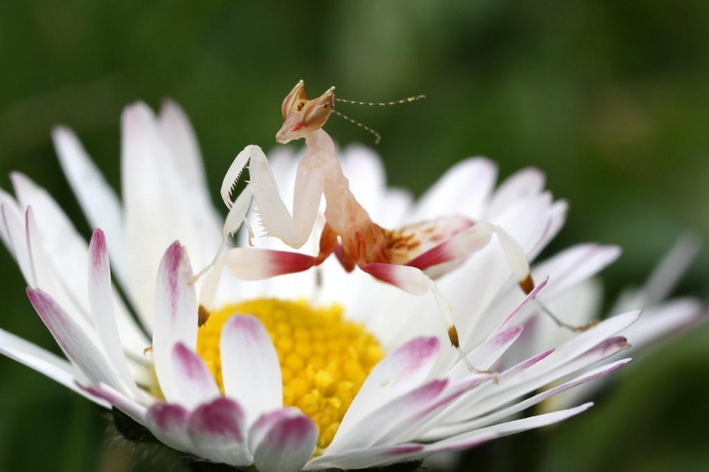 Орхидейный богомол: Живой цветок (12 фото)