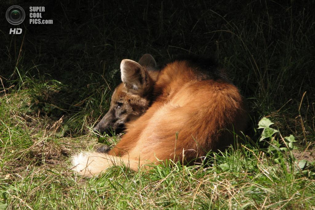 Гривистый волк поедает также птиц и их яйца, рептилий, улиток и насекомых; ест бананы, гуаву и растение из рода паслён. Последнее, видимо, помогает гривистым волкам избавляться от круглого червя, который паразитирует в почках. Ест также корни и клубни различных растений. (Crusier)